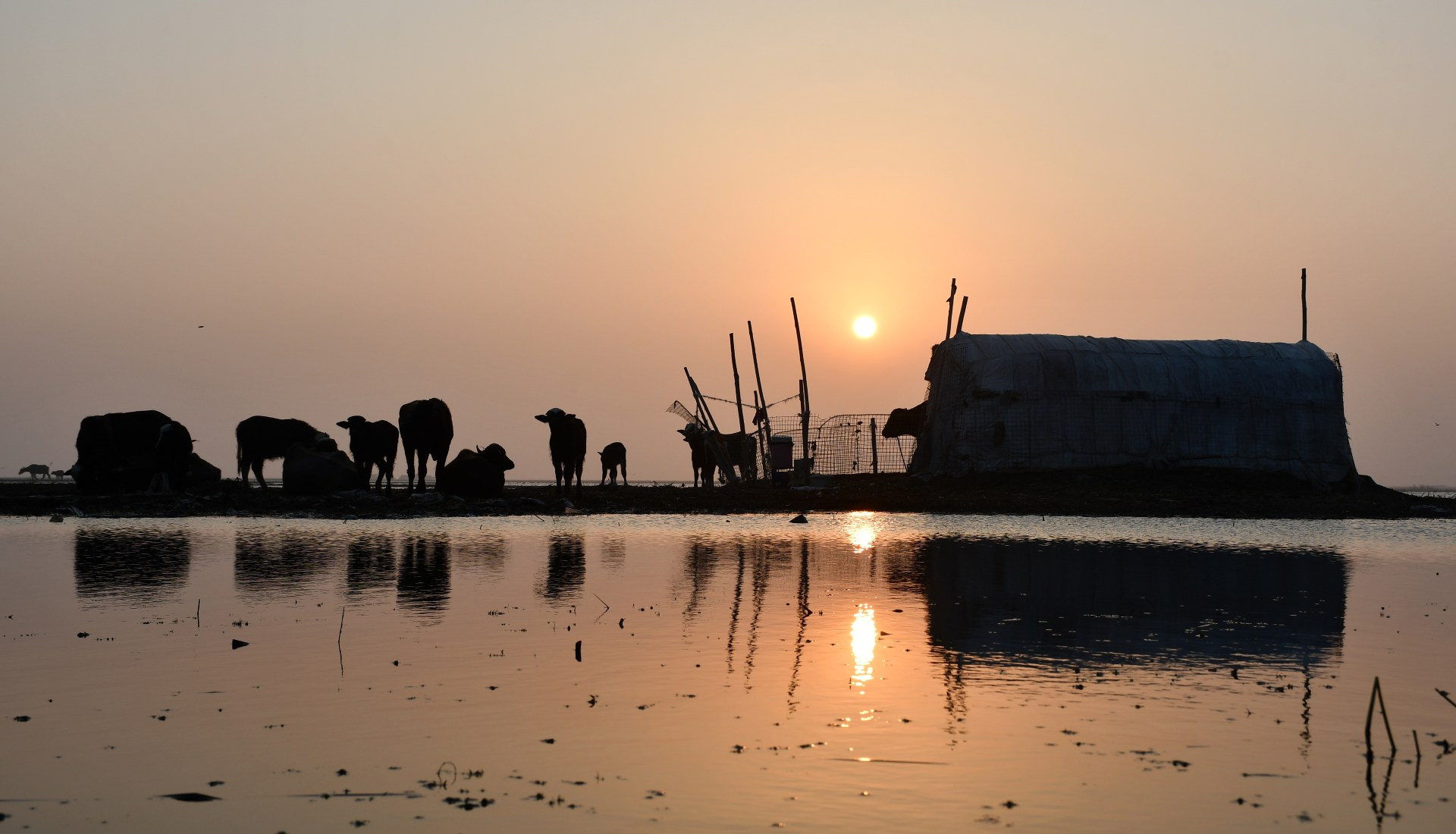 A view of cattle sitting in the marshes (ahwar) of the southern district of Chibayish in Iraq's Dhi Qar province (AFP)