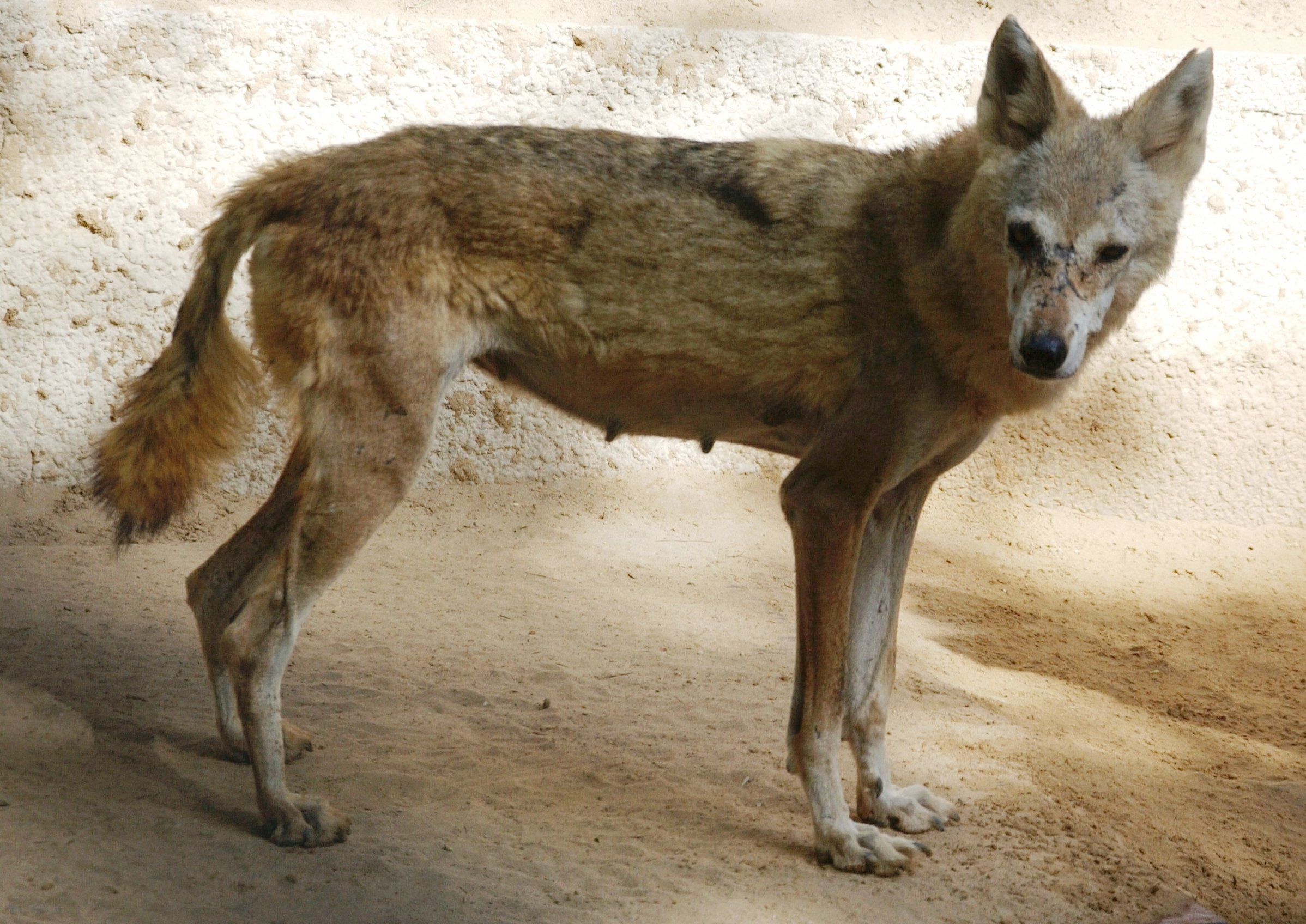 Conservation In Conflict Advancement And The Arabian Wolf
