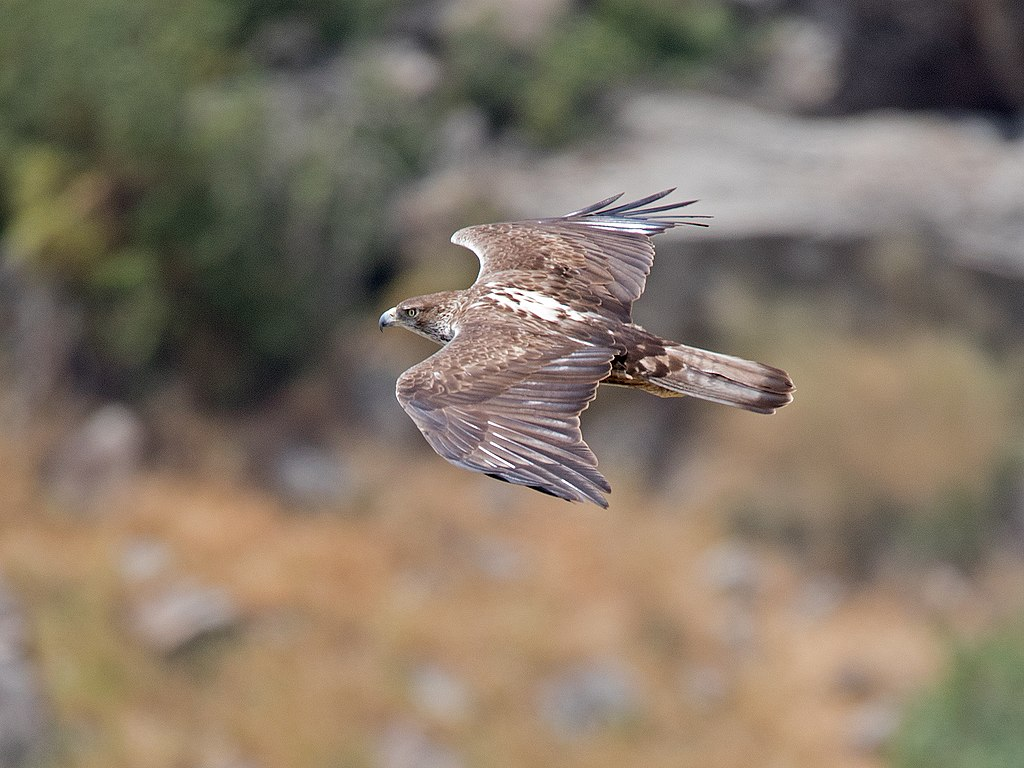 Bonelli's eagle is one of many species whose habitat is endangered by the dam (Wikiword)