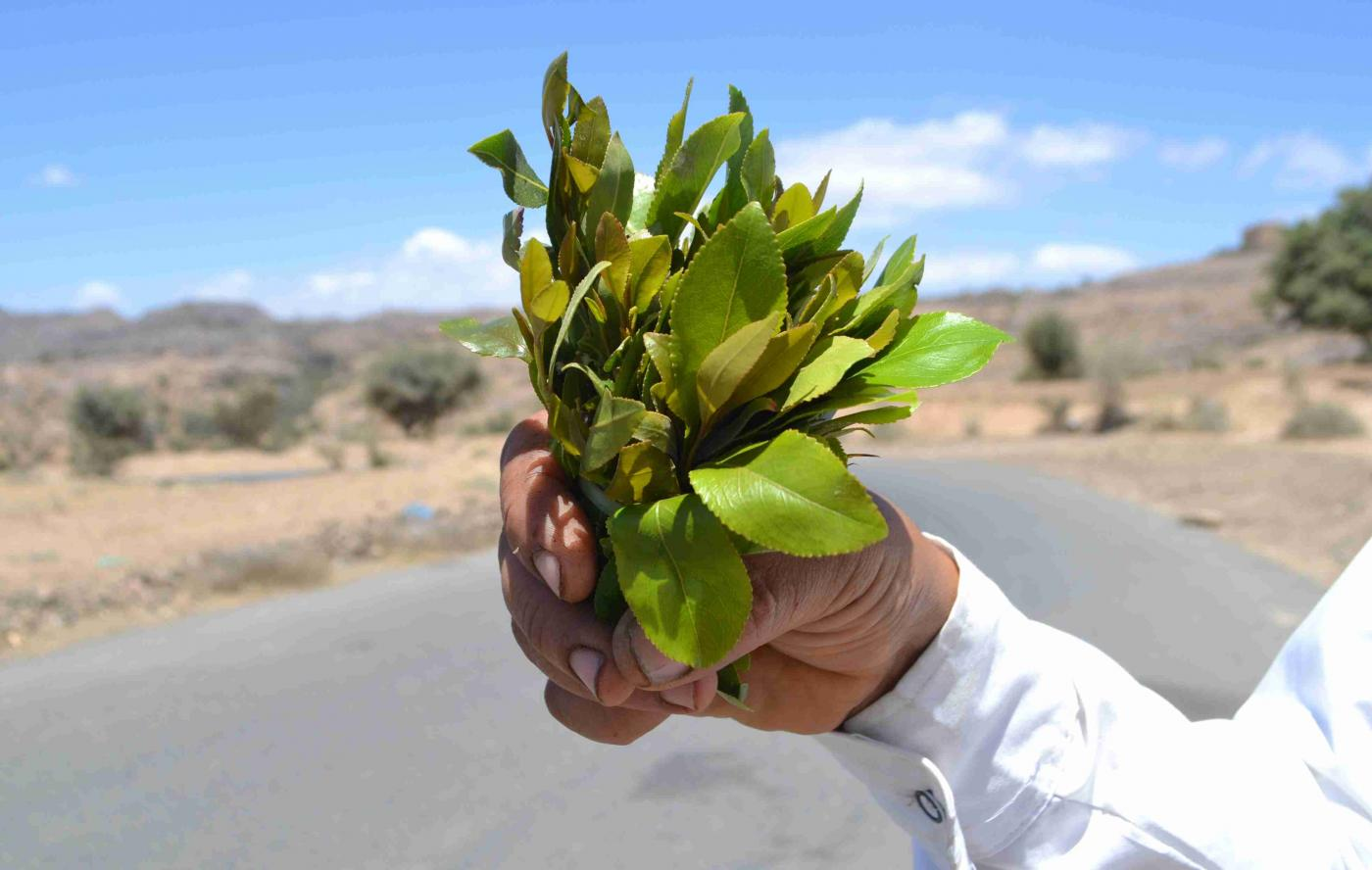 In some parts of Yemen, qat is replacing fruit trees as farmers' main crop (MEE)