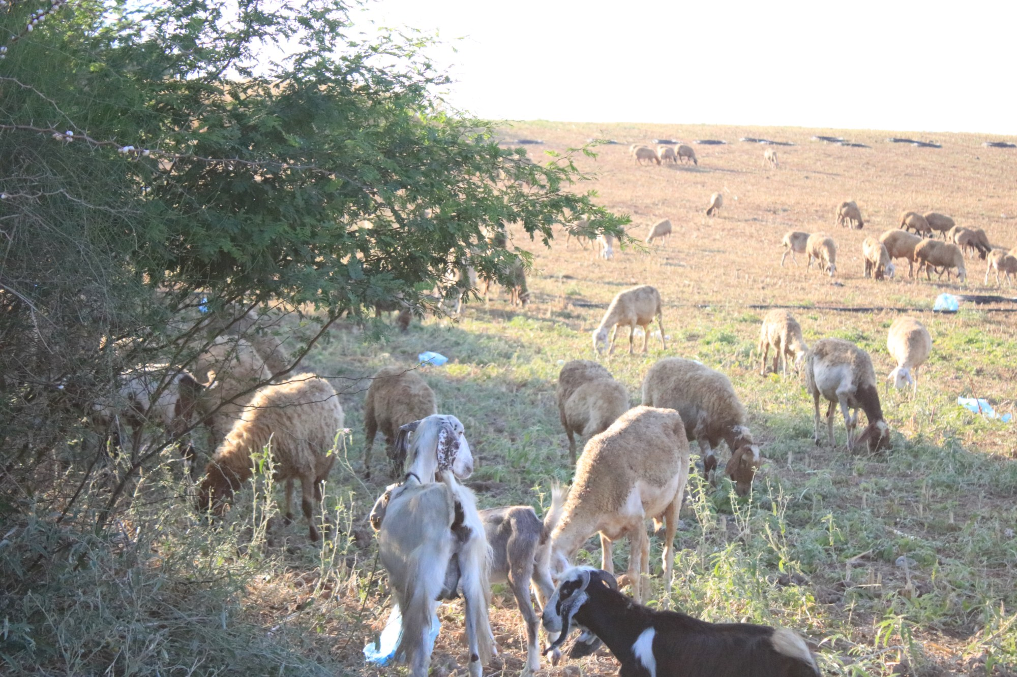 The herbicides not only hurt crops, but also livestock grazing in the affected areas (MEE/Abdallh al-Naamy)