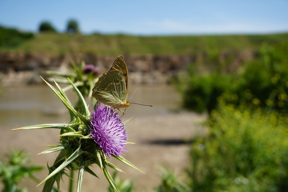 Also known as clouded yellow, Colias Croceus and milk thistle are seen growing by the Tigris River. (MEE/Nimet Kirac)