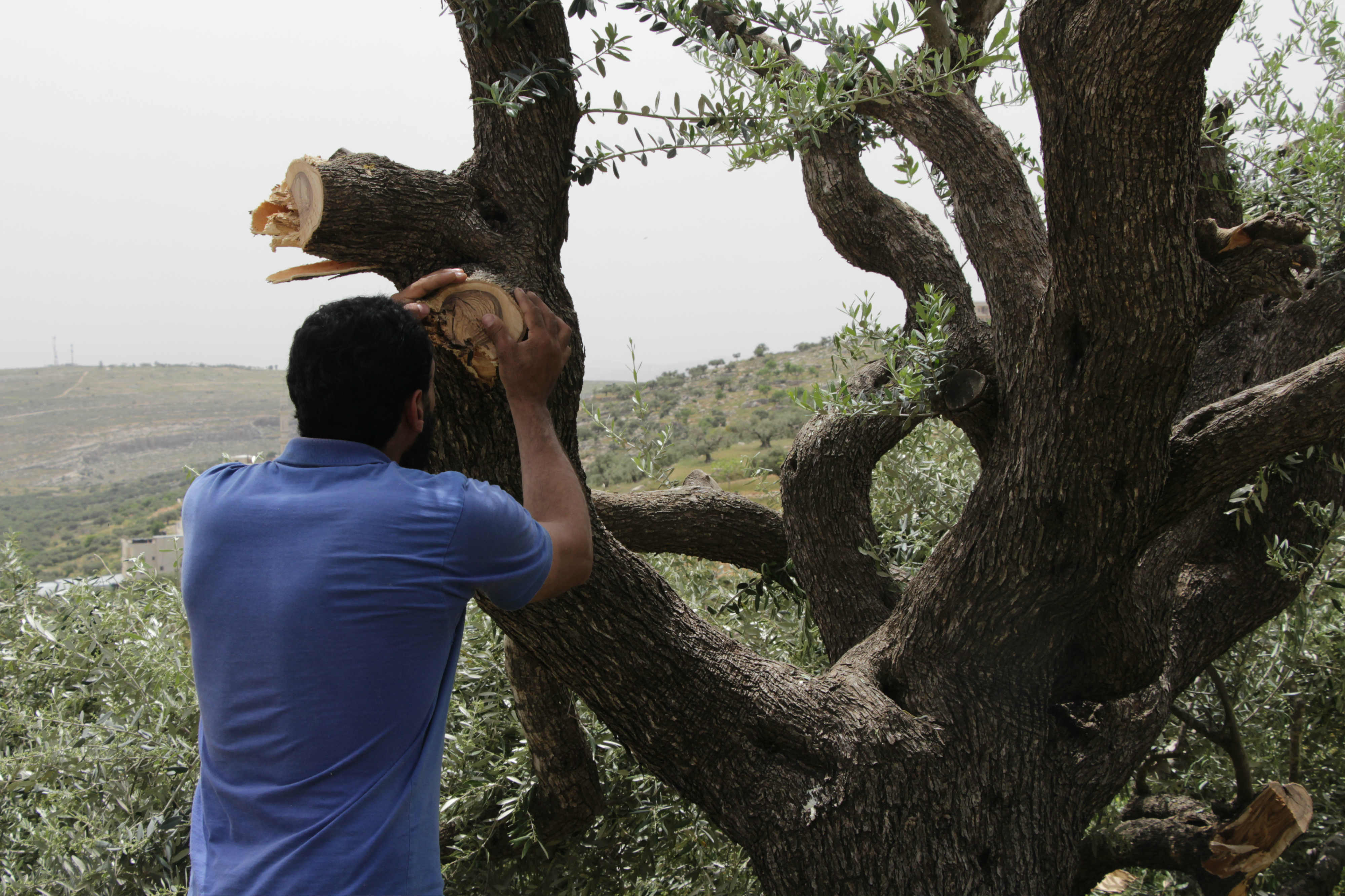 A Palestinian farmer inspects an olive tree following a settler attack (MEE)