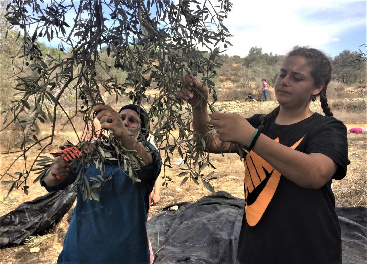Famiglia palestinese raccoglie olive durante una visita in fattoria a nord-est di Ramallah, 2 novembre 2019 (MEE / Shatha Hammad)