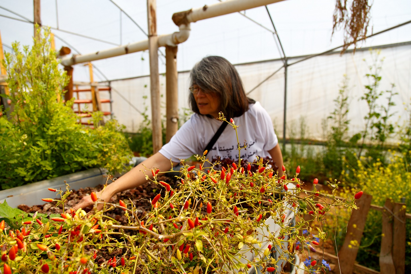 Co-founder of the Natural History Museum, Jesse Qumsiyeh check on the chillies and other plants grown inside their greenhouse
