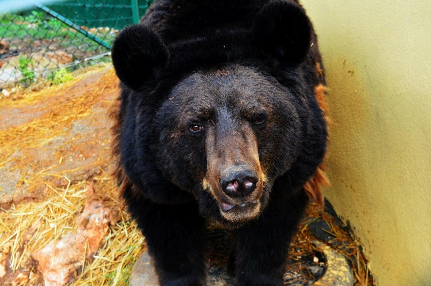 War Is Hell For Animals Too In Jordan These Bears Have Found A Sanctuary Middle East Eye