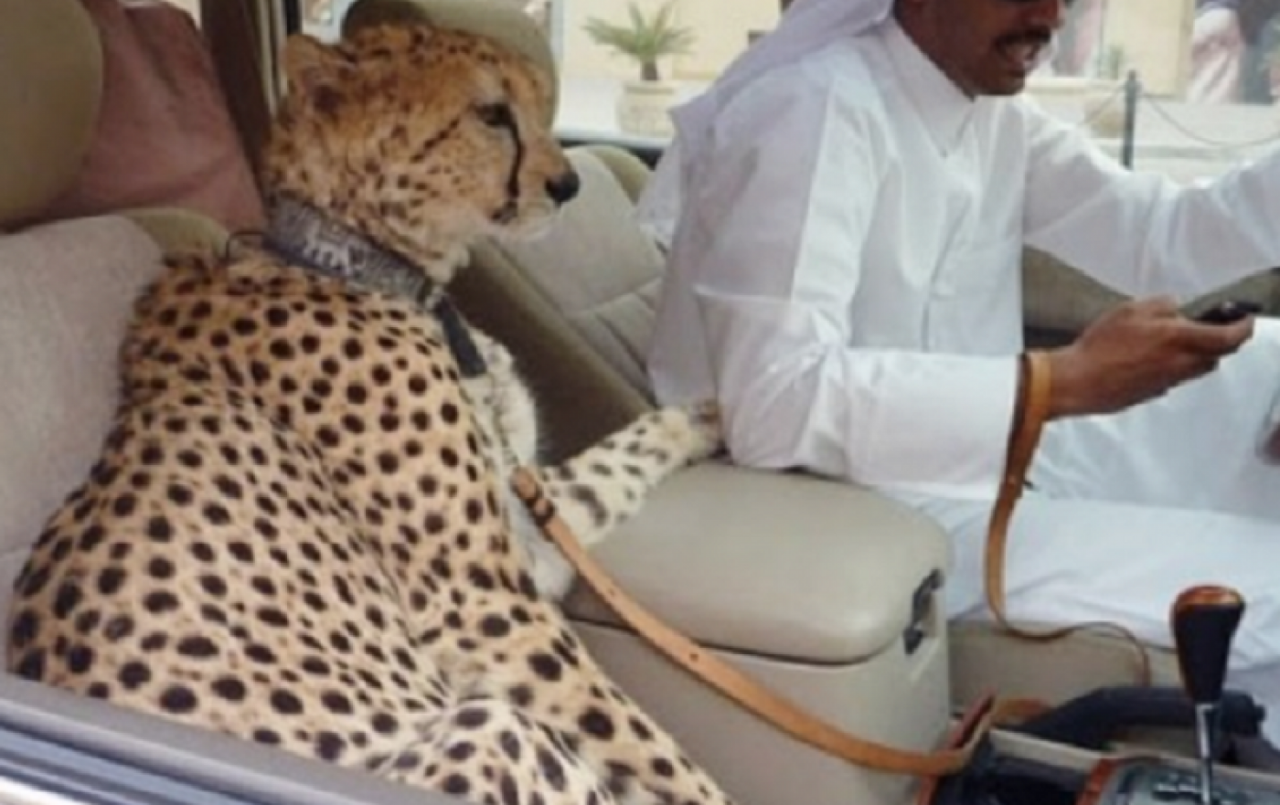 Cheetahs In Cars Uae Outlaws Exotic Pets Middle East Eye