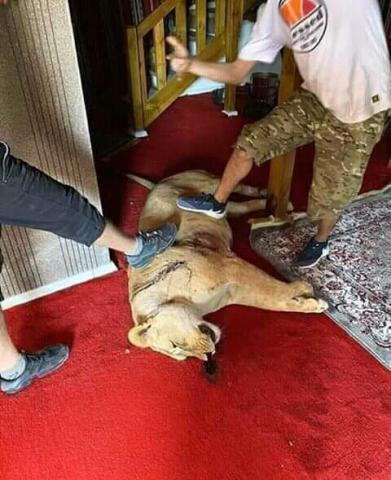 An image purportedly of a lion in Tarhuna shot by GNA militias (social media)