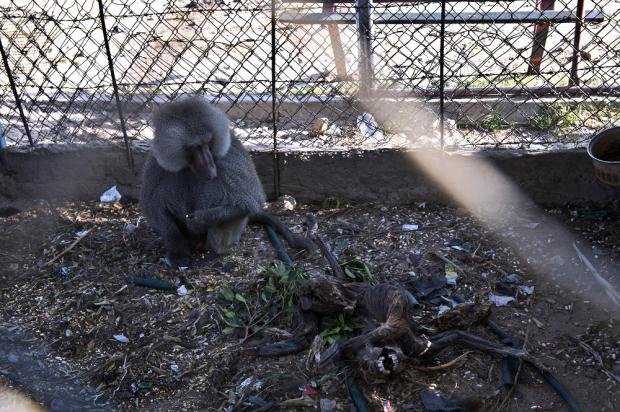Monkey left sharing a cage with a carcass (AFP)
