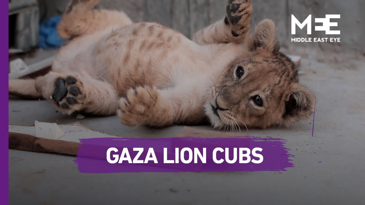 Meet the lion cubs being raised on a Gaza rooftop