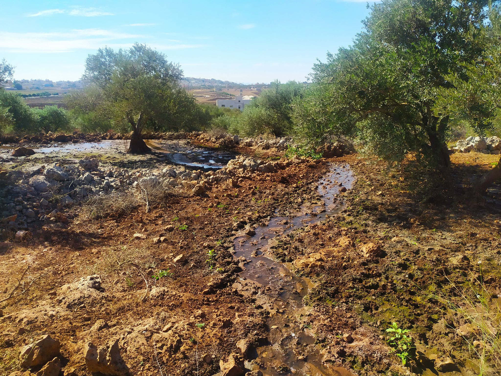 In the village of Deir Ballut, settlers previously attacked the land and cut down 200 olive trees that were about 25 years old (MEE/Shatha Hammad)